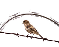 Award-winning Marin nature photograph finch on barbed and razor wire