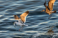 Victorious Gull with Herring