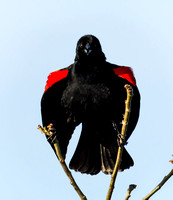 Red-winged Blackbird Making a Statement