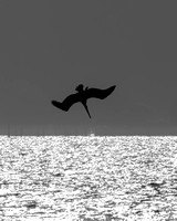Diving Pelican Silhouette