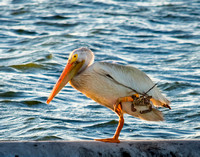 Pelican with Fishing Gear Entangled on Its Leg