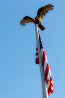 Vulture Atop a Flagpole