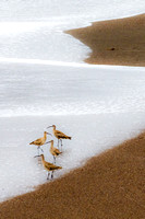 Long-billed-Curlews in the Surf