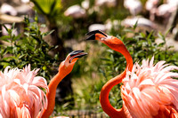 Bill-Fighting American Flamingos