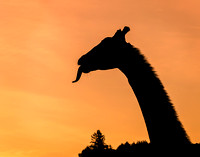 A Giraffe at Dawn