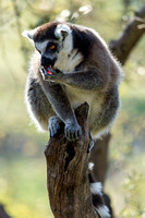 Lemur Licking Its Fingers