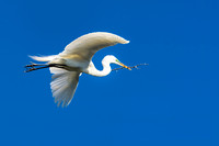 Egret Flying with Branch For a Nest