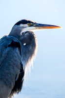 Blue Heron in Mill Valley, California