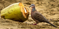 Spotted Dove Eating Coconut