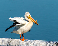 White Pelican with Bill Horn